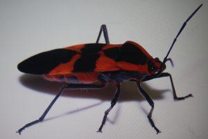 Monsoon Bug