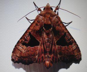 monsoon Moth